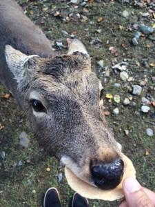 せんべい食べる鹿